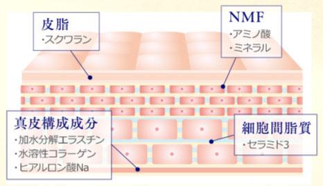 角質層のイラスト解説。皮脂(スクワラン)NMF(アミノ酸・ミネラル)真皮構成成分(加水分解エラスチン・水溶性コラーゲン・ヒアルロン酸Na)細胞間脂質(セラミド3)