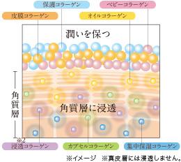 潤いを保ち、角質層に浸透する7つのコラーゲンの働き。イメージ図