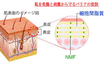 肌断面図と表皮における細胞間脂質とNMF(天然保湿因子)を示すイメージ図。肌を乾燥するバリアの役割