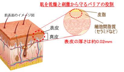 皮膚断面と表皮の構造を示すイメージ画像。表皮の厚さは約0.02mm。肌を乾燥と刺激から守るバリアの役割