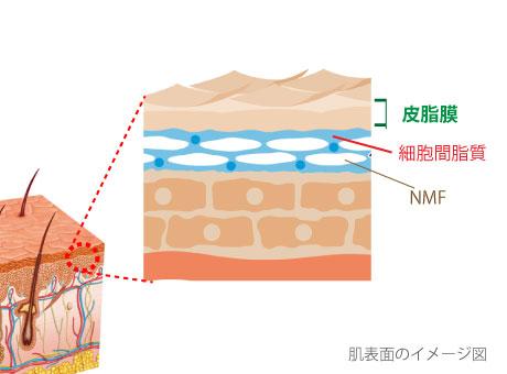 肌断面図と角層の皮脂膜・天然保湿因子・角質幹細胞脂質の位置を示す