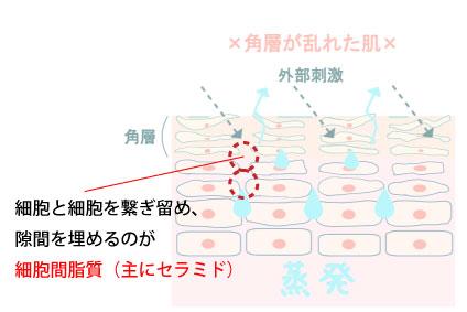 イラスト解説。細胞と細胞を繋ぎ留め、隙間を埋めるのが細胞間脂質(主にセラミド)